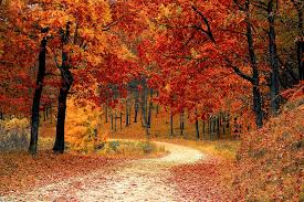 autumn colors of a gold and burnt orange leaves in forest path