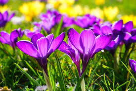 purple iris flowers of spring environmental stress factors