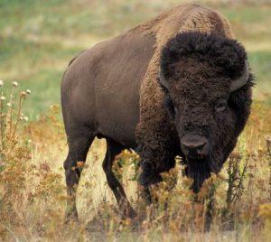 a buffalo can also produce milk