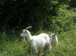 ordinary white-haired goat with baby in tow