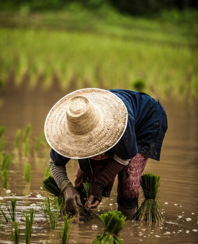 asian woman planting rice